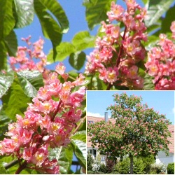 Red Horse Chestnut Tree (Aesculus `Briotii`) Supplied height 1.50 to 2.4 metres in a 7-12 litre container **FREE UK MAINLAND DELIVERY + FREE 100% TREE WARRANTY**