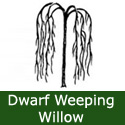 Dwarf Weeping Willow Tree (Salix caprea Pendula Kilmarnock) Supplied height 0.9 - 2.00 metres in a 5-15 litre container, WET SITE SUITABLE  **FREE UK MAINLAND DELIVERY + FREE 100% TREE WARRANTY**