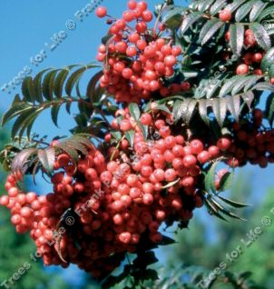 Eastern Promise Mountain Ash or Rowan Tree (Sorbus 'Eastern Promise') Supplied height 1.5 - 2.4m in a 12 litre container **FREE UK MAINLAND DELIVERY + FREE 100% TREE WARRANTY**