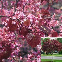 Eastern or American Redbud Tree (Cercis canadensis `Forest Pansy`) Supplied height 0.9 to 2.4m, 2-3 years old, 5 to 12 litre container **FREE UK MAINLAND DELIVERY + FREE 100% TREE WARRANTY**
