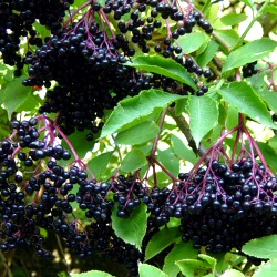 Elder (Sambucus nigra) 15-30cm shrubs  WINE/CORDIAL + FAST GROWING + COASTAL **FREE UK MAINLAND DELIVERY + FREE 100% TREE WARRANTY**
