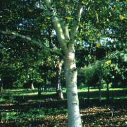 <font color=&quot;red&quot;>DELIVERED AUGUST 2019</font> Polar Bear Ermins Birch Tree (Betula ermanii 'Polar Bear') Supplied height 1.5 to 1.7 metres in a 12 litre container**FREE UK MAINLAND DELIVERY + FREE 100% TREE WARRANTY**