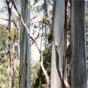 <font color=&quot;red&quot;>DELIVERED AUGUST 2019</font> Shining Gum (Eucalyptus Nitens) 20 - 40cm Hedge Trees, FAST GROWING + SCENTED FOLIAGE + BIOFUEL**FREE UK MAINLAND DELIVERY + FREE 100% TREE WARRANTY**