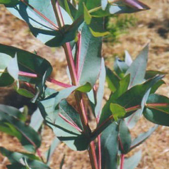 Shining Gum (Eucalyptus Nitens) 20 - 40cm Hedge Trees, FAST GROWING + SCENTED FOLIAGE + BIOFUEL**FREE UK MAINLAND DELIVERY + FREE 100% TREE WARRANTY**