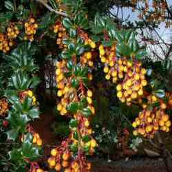 Darwins Barberry (Berberis Darwinii) 10-20cm hedging shrubs, AWARD + EVERGREEN + SHADE TOLERANT + DENSE + HARDY + COAST + LOW MAINTENANCE  **FREE UK MAINLAND DELIVERY + FREE 100% TREE WARRANTY**