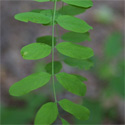 False Acacia Tree (Robinia Pseudoacacia) 20 - 40cm Trees, DRY + SHADE TOLERANT + COPPICE + POOR SOIL + FAST GROWING + ACID or CHALK + COASTAL + SPECIMEN TREE **FREE UK MAINLAND DELIVERY + FREE 100% TREE WARRANTY**