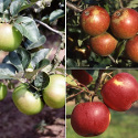 "<font color=""red"">DELIVERED AUGUST 2020</font> Family Apple Trees (3 varieties on one tree: Bramley 20/Christmas pippin/Scrumptious) Supplied height 125cm 200cm in a 7 - 12 litre container **FREE UK MAINLAND DELIVERY**"