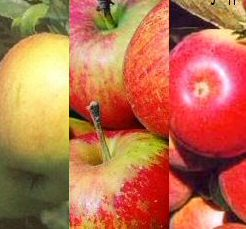 "<font color=""red"">DELIVERED AUGUST 2019</font> Family Apple Trees**3 varieties on one tree (Cox, Katy  and  James Grieve) Supplied height 1.25 - 1.50m in a 12 litre container **FREE UK MAINLAND"