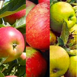 Family Apple Trees (3 varieties on one tree -Herefordshire Russet /Cox /Fiesta   ) Supplied height 1.25 - 1.75m in a 12 litre container **FREE UK MAINLAND DELIVERY**