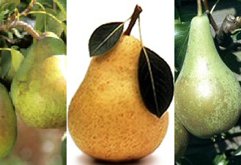Family Pear Trees, 3 varieties on one tree (Conference, Concorde and Comice )