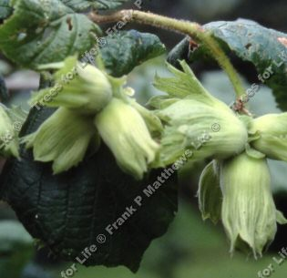 Cosford Filbert Tree (Corylus 'Cosford') Supplied height  1.2 -1.8 metres in a 7-12 litre container **FREE UK MAINLAND DELIVERY + FREE 100% TREE WARRANTY**