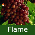 <font color=&quot;red&quot;>DELIVERED AUGUST 2019</font> Flame Grape Vine Bush.  Red Indoor/Outdoor Seedless Dessert Grape, 3 Litre Pot, 2-3years old **FREE UK MAINLAND DELIVERY + FREE 100% TREE WARRANTY**