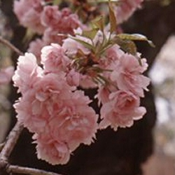 Flowering Cherry Tree Pink Perfection, 1.5-2.2m, 12 litre Pot, LONG LASTING FLOWERS + SMALL TREE + LOW MAINTAINENCE  + AWARD **FREE UK MAINLAND DELIVERY + FREE 100% TREE WARRANTY**