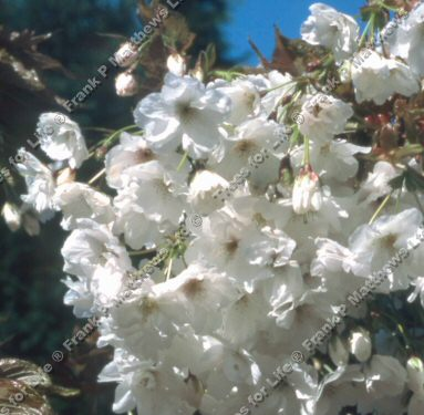 Fragrant Cloud Japanese Flowering Cherry Tree (Prunus 'Shizuka') Supplied height 1.5 - 2.40m in a 12 litre container **FREE UK MAINLAND DELIVERY + FREE 100% TREE WARRANTY**