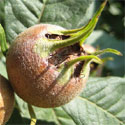 Flanders Giant Medlar Tree  Supplied height Up To 1.25 -2.00 metres in a 7 container, 2+ years old, EATING + COOKING +SELF FERTILE + DISEASE RESISTANT + NORTH UK SUITABLE **FREE UK DELIVERY + FREE TREE WARRANTY **