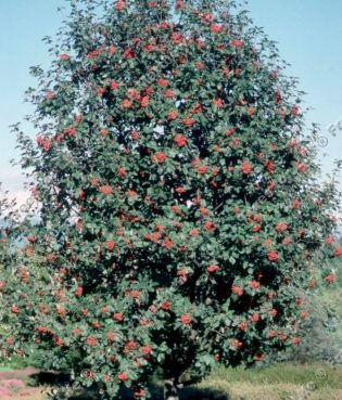 Gibbsii Mountain Ash or Rowan Tree (Sorbus hybrida Gibbsii) Supplied height 1.5 - 2.0 m in a 12 litre container **FREE UK MAINLAND DELIVERY + FREE 100% TREE WARRANTY**