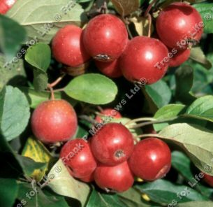 DELIVERED AUGUST 2021 Gorgeous Crab Apple Tree (Malus 'Gorgeous') Supplied height 1.00 - 2.5m in a 7-20 litre container **FREE UK MAINLAND DELIVERY + FREE 100% TREE WARRANTY**