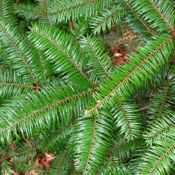 Grand Fir Tree (Abies grandis) 15 - 30cm trees, EVERGREEN **FREE UK MAINLAND DELIVERY + FREE 100% TREE WARRANTY**