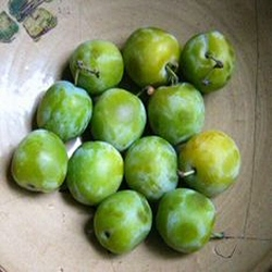 <font color=&quot;red&quot;>DELIVERED AUGUST 2017</font> Old Greengage Gage Tree (C3) Eating, Fruits Mid August - Height 1.5m-2.0m, 2-3 years Old,  RELIABLE CROPPER + SWEET + OLD FASHIONED VARIETY,  FREE UK DELIVERY + 100% WARRANTY