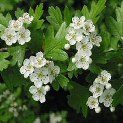 <font color=&quot;red&quot;>DELIVERED AUGUST 2018</font> Hawthorn Tree (Crataegus monogyna) 20-40cm Trees**FREE UK MAINLAND DELIVERY + FREE 100% TREE WARRANTY**