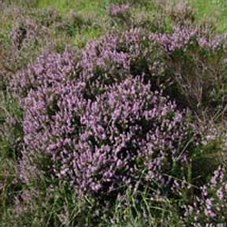 DELIVERED AUGUST 2021 Scotch Heather Shrubs (Calluna vulgaris) 10 - 20cm Shrubs**FREE UK MAINLAND DELIVERY + FREE 100% TREE WARRANTY**