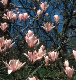 <font color=&quot;red&quot;>DELIVERED AUGUST 2019</font> Heaven Scent Magnolia Tree (Magnolia 'Heaven Scent')  HEAVILY SCENTED + PINK FLOWERS + AWARD + LOW MAINTENANCE, 1.0 - 2.4m, 2-4 years old **FREE UK MAINLAND DELIVERY + FREE TREE WARRANTY*