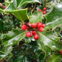 DELIVERED AUGUST 2021 Common Holly Tree (Ilex aquifolium) 15-30cm Trees**FREE UK MAINLAND DELIVERY + FREE 100% TREE WARRANTY**
