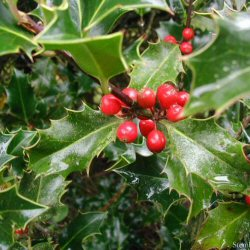 Holly (Ilex aquifolium) 15 - 30cm Shrubs**FREE UK MAINLAND DELIVERY + FREE 100% TREE WARRANTY**