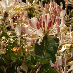 Honeysuckle (Lonicera periclymenum) Very Fragrant 20-40cm Shrubs **FREE UK MAINLAND DELIVERY + FREE 100% TREE WARRANTY**
