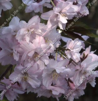 Horinji Japanese Flowering Cherry Tree (Prunus 'Horinji') Supplied height 1.5 - 2.0m in a 12 litre container **FREE UK MAINLAND DELIVERY + FREE 100% TREE WARRANTY**