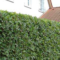 Hornbeam Hedging (Carpinus betulus) 20-40cm Trees **FREE UK MAINLAND DELIVERY + FREE 100% TREE WARRANTY**