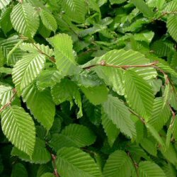 Hornbeam Tree (Carpinus betulus) 20-40cm Trees**FREE UK MAINLAND DELIVERY + FREE 100% TREE WARRANTY**