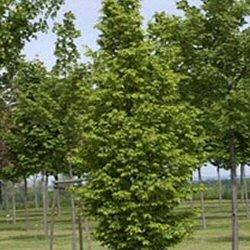 Frans Fontaine Hornbeam Tree (Carpinus betulus `Frans Fontaine`) Supplied height 1.5 to 2.50 metres in a 5-15 litre container **FREE UK MAINLAND DELIVERY + FREE 100% TREE WARRANTY**