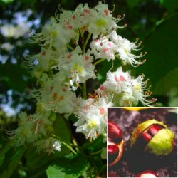 Horse Chestnut Tree (Aesculus hippocastanum) Supplied at 1.5-2.00m in a 7-12 litre container **FREE UK MAINLAND DELIVERY + FREE 100% TREE WARRANTY**