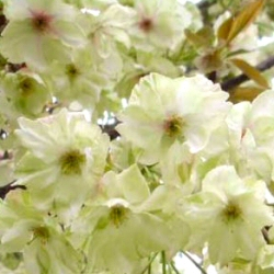 DELIVERED AUGUST 2021 Ukon Japanese Flowering Cherry Tree.  Supplied height 1.5 - 2.40m,7-15L pot, 2+ years old, MEDIUM + AWARD **FREE UK MAINLAND DELIVERY + FREE 100% TREE WARRANTY**