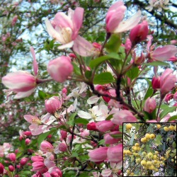 <font color=&quot;red&quot;>DELIVERED AUGUST 2018</font> Floribunda Crab Apple Tree (Malus floribunda) Supplied height 1.5 - 2.2m in a 7-12 litre container **FREE UK MAINLAND DELIVERY + FREE 100% TREE WARRANTY**