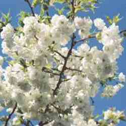 DELIVERED AUGUST 2021 Japanese Flowering Cherry Tree (Prunus Shirotae) Supplied height 1.25 - 2.0m **FREE UK MAINLAND DELIVERY + FREE 100% TREE WARRANTY**