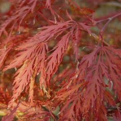 <font color=&quot;red&quot;>DELIVERED AUGUST 2017</font> Japanese Maple Tree (Acer palmatum `Garnet`)Ht. 0.3m-0.6m 8.5 Litre container **PRICE INCLUDES FREE UK MAINLAND DELIVERY**