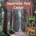 Japanese Red Cedar Tree (Cryptomeria Japonica) 15cm-30cm Trees , FAST GROWING + COPPICED + EVERGREEN + DECAY RESISTANT + SHADE TOLERANT **FREE UK MAINLAND DELIVERY + FREE 100% TREE WARRANTY**