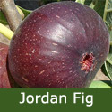 Jordan Fig Tree, height 1.2 - 2.00m, 2-3 years old, FRUIT SAME YEAR + TOUGH HARDY FIG   **FREE UK MAINLAND DELIVERY + FREE 100% TREE WARRANTY**