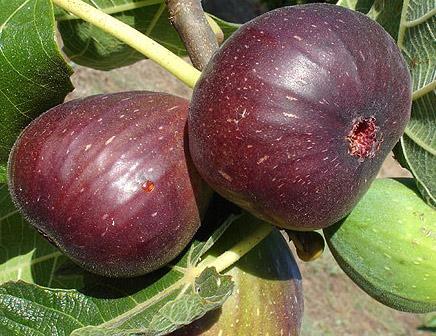 Jordan Fig Tree Online Free Uk Delivery Free 3 Year Tree Warranty
