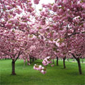 Japanese Flowering Cherry Tree (Prunus `Kanzan`) 1.5 - 2.0m in a 12L Pot. VERY POPULAR + **FREE UK MAINLAND DELIVERY + FREE 100% TREE WARRANTY**