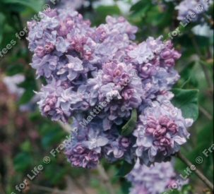 Katherine Havemeyer Lilac Tree / shrub (Syringa vulgaris 'Katherine Havemeyer') Supplied 50-120cm in 7-12 pot, 2-3 years old. FRAGRANT + AWARD + CHALK TOLERANT  **FREE UK MAINLAND DELIVERY + FREE 100% TREE WARRANTY**