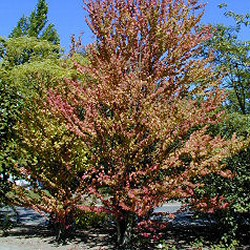 Katsura Tree (Cercidiphyllum japonicum) Supplied height 1.25 - to 1.50 metres in a 7 litre container **PRICE INCLUDES FREE UK MAINLAND DELIVERY**