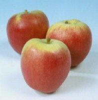 Katy Apple Tree (C3) LARGE CROP + FIRM + GOOD POLLINATOR + NORTH UK + JUICING + DISEASE RESISTANT,  1-3 years old, delivered 1-2m tall, **FREE UK MAINLAND DELIVERY + FREE 100% TREE WARRANTY**