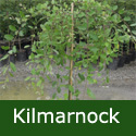 Dwarf Weeping Willow Tree (Salix caprea Pendula `Kilmarnock`) Supplied height 0.9 - 2.00 metres in a 5-12 litre container, WET SITE SUITABLE  **FREE UK MAINLAND DELIVERY + FREE 100% TREE WARRANTY**