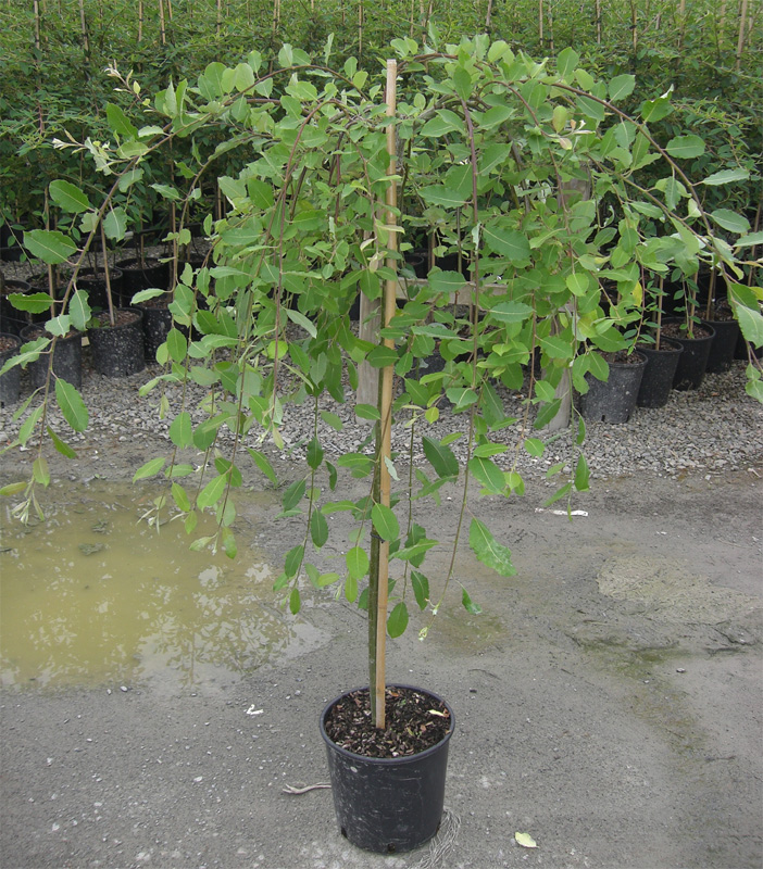 Buy dwarf weeping willow tree online from uk supplier of for Dwarf trees for small gardens