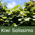 Kiwi (Actinidia) Solissimo, RELIABLE + SELF-FERTILE, 2-3 years old **FREE UK MAINLAND DELIVERY + FREE 100% TREE WARRANTY**