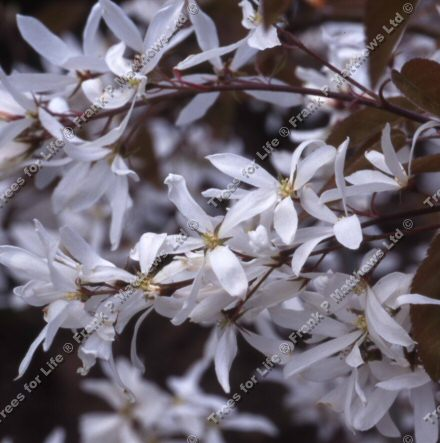La Paloma Snowy Mespilus Tree (Amelanchier 'La Paloma') Supplied height 1.5 to 1.8 metres, 2-3 years old   **FREE UK MAINLAND DELIVERY + FREE 100% TREE WARRANTY**