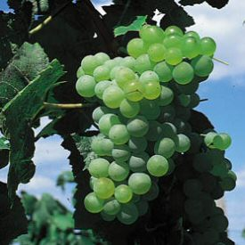 Lakemont (Vitis vinifera 'Lakemont') Indoor or Outdoor (SEEDLESS + MILDEW RESISTANT) white Grape, 3 Litre Pot, 2-3 years old **FREE UK MAINLAND DELIVERY + FREE 100% TREE WARRANTY**